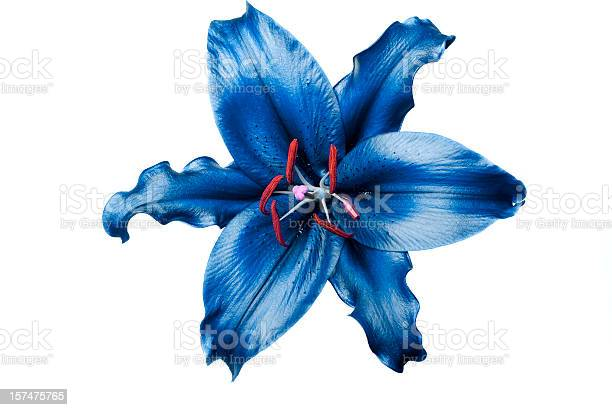 Exotic blue lily on white background picture id157475765?b=1&k=6&m=157475765&s=612x612&h=o8sfe2fjtbar9nk3noeymyy8ixh2pgwv5fsrn8qnmvc=