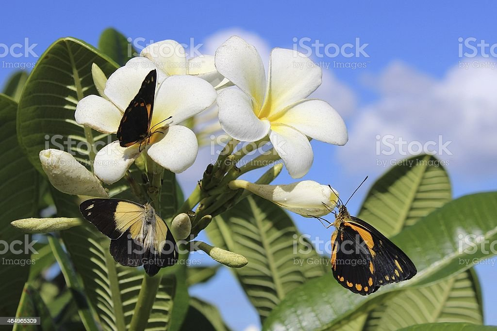 Exotic Butterflies On White And Yellow Plumeria Flowers In Hawaii