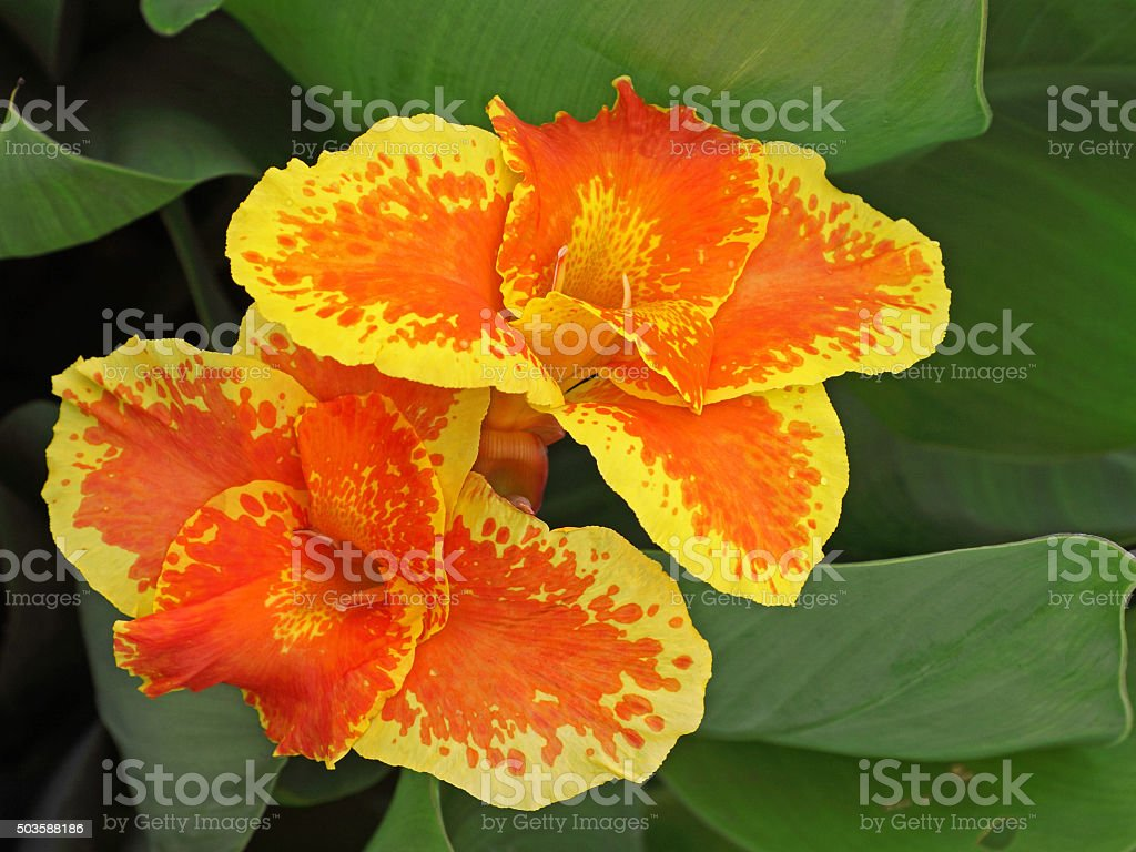 Exotic Canna Lily Flowers Blooming In An Indian Garden Stock Photo