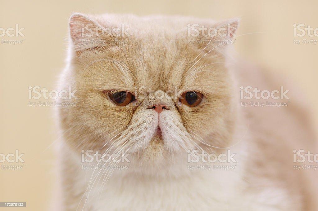 exotic cat stock photo