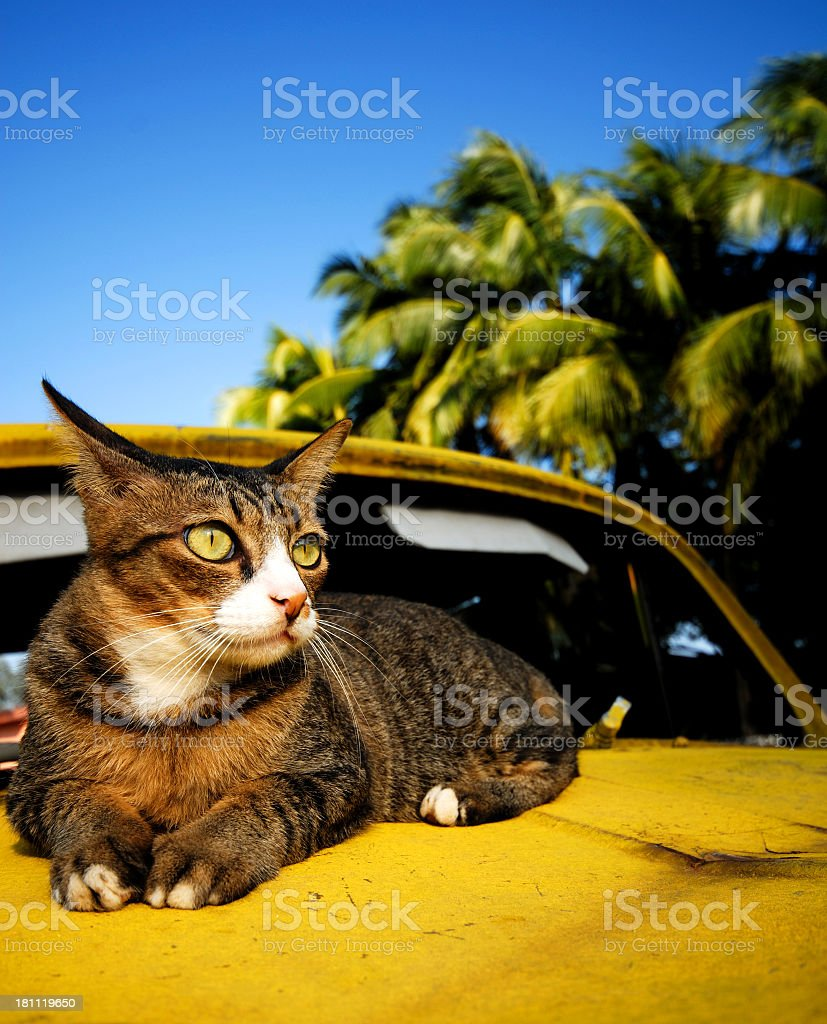 Exotic Cat royalty-free stock photo
