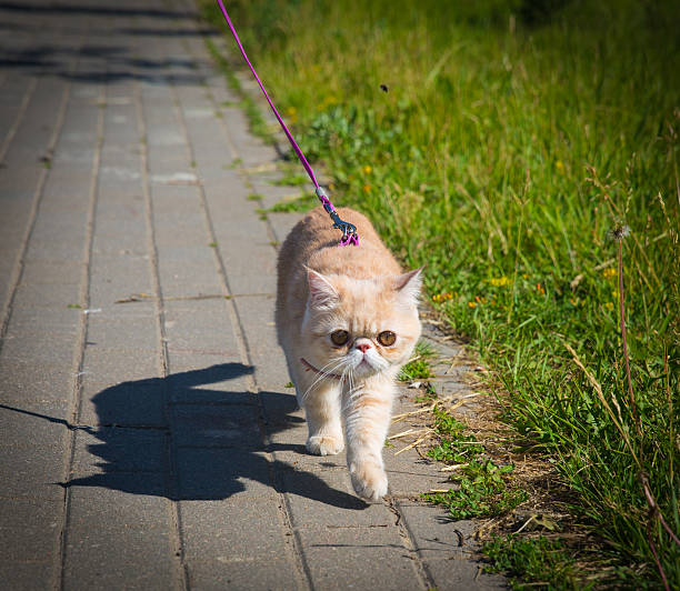exotic cat walks on a leash - cat leash stock photos and pictures