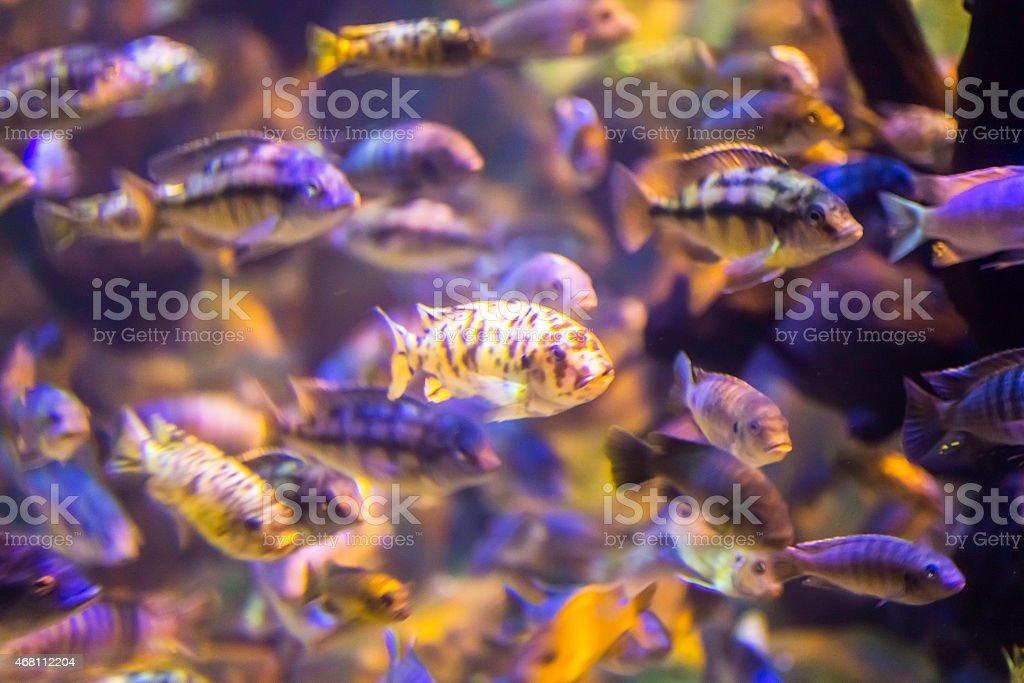 Exotic Cichlid Fish from Lake Malawi stock photo