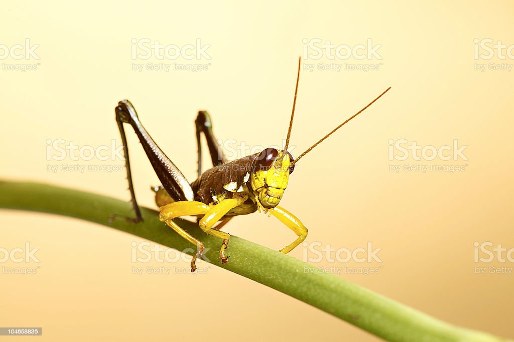 exotic colorful grasshopper insect on twig royalty-free stock photo