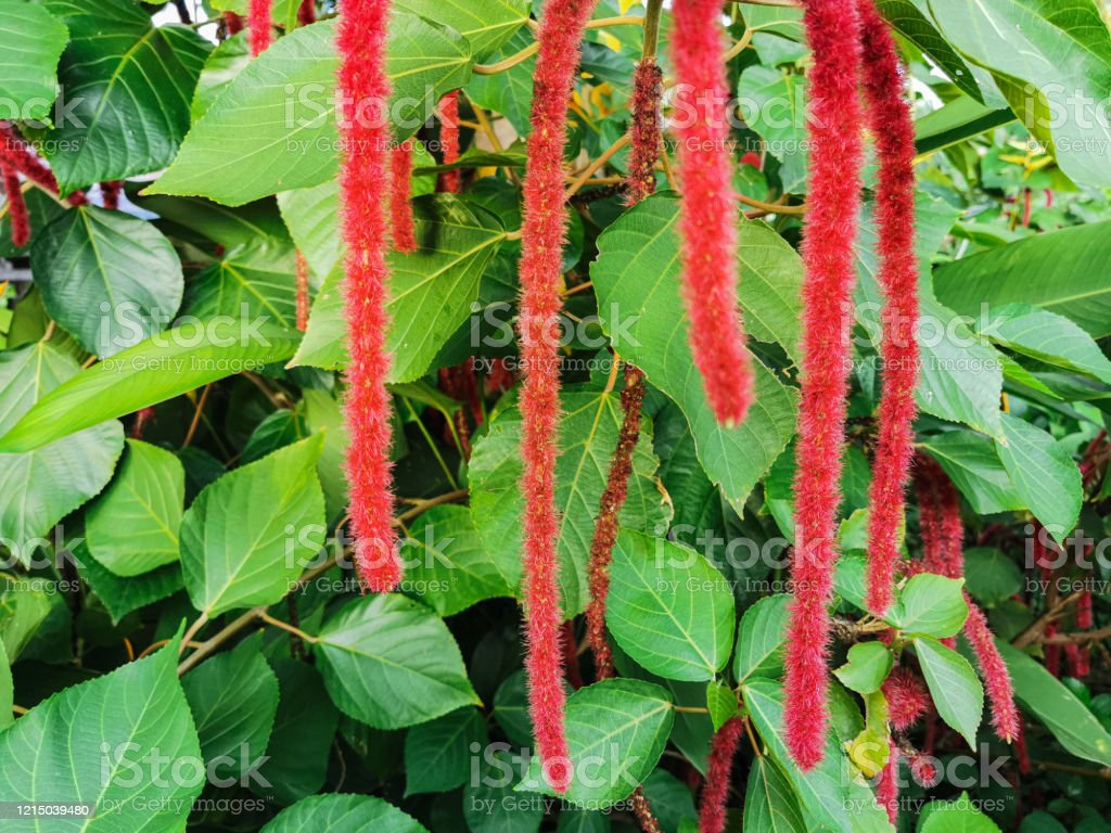 Exotic Decorative Plant In Garden The Red Flowering Tails Of The Acalypha Hispida Stock Photo Download Image Now Istock