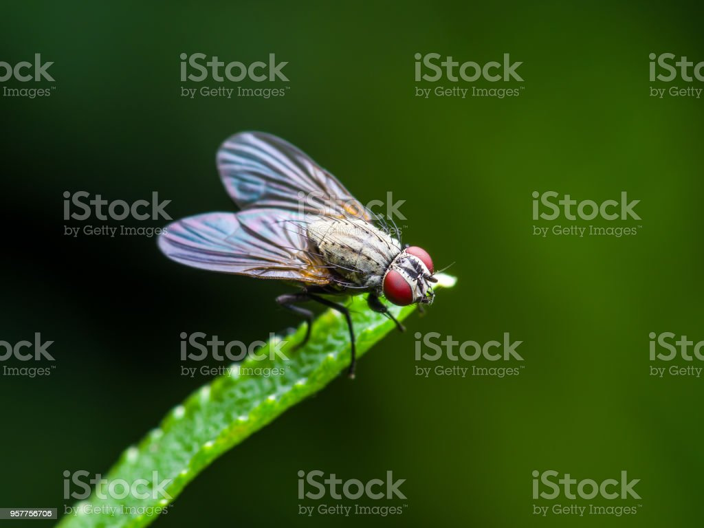 Exotic Drosophila Fruit Fly Diptera Insect on Green Grass stock photo