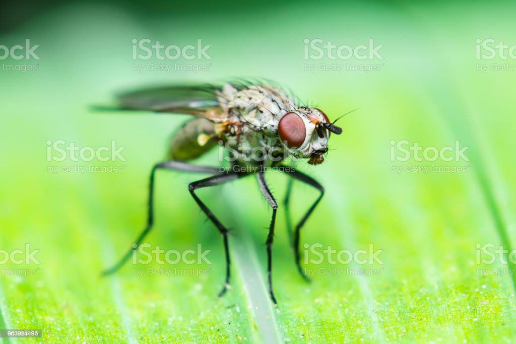 Exotic Drosophila Fruit Fly Diptera Insect on Green Leaf - Royalty-free Animal Stock Photo