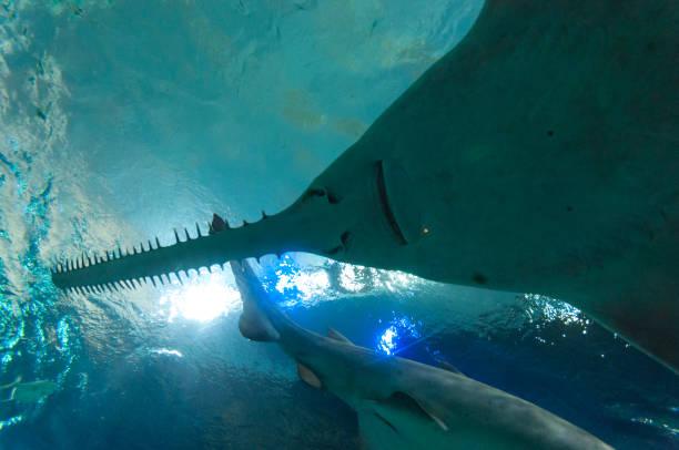 peces exóticos - pez sierra fotografías e imágenes de stock