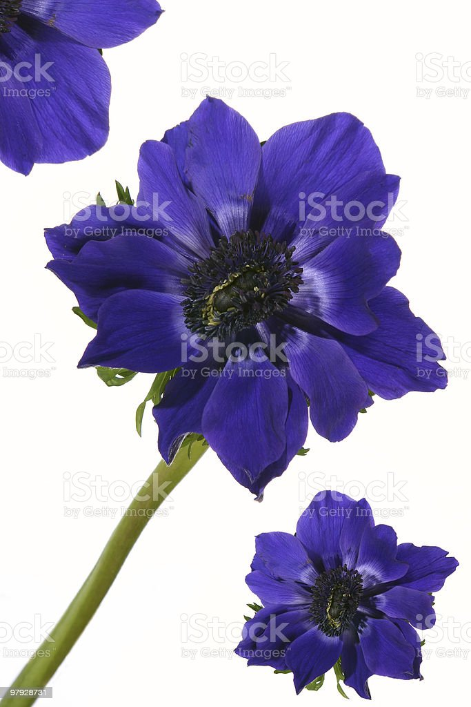 Exotic flower blue poppy royalty-free stock photo