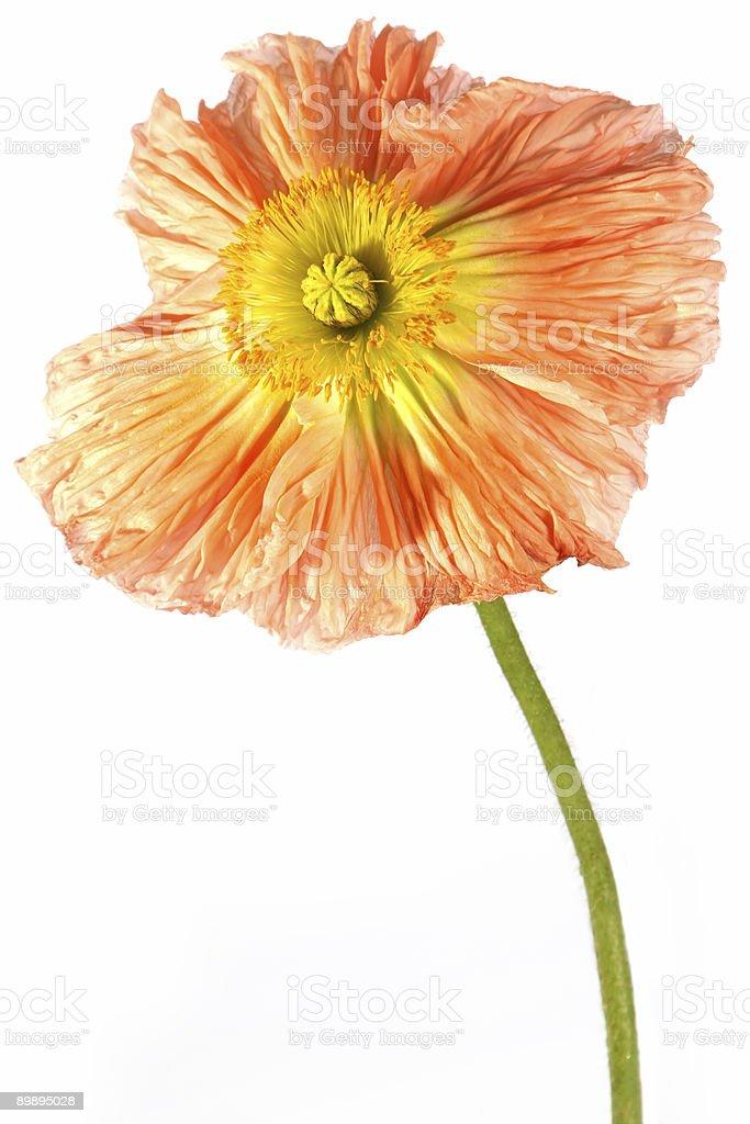 Exotische Blumen Mohn Lizenzfreies stock-foto