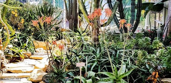 Geneva botanical gardens cactuses and plants Haemanthus Albiflos.