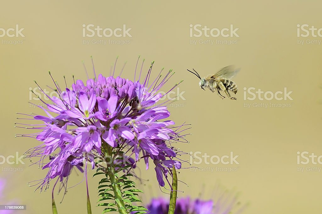Exotic green eyed Long horned Bee stock photo