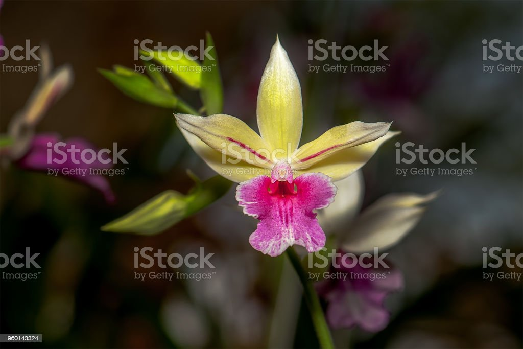Exotic Hybrid Orchid. stock photo