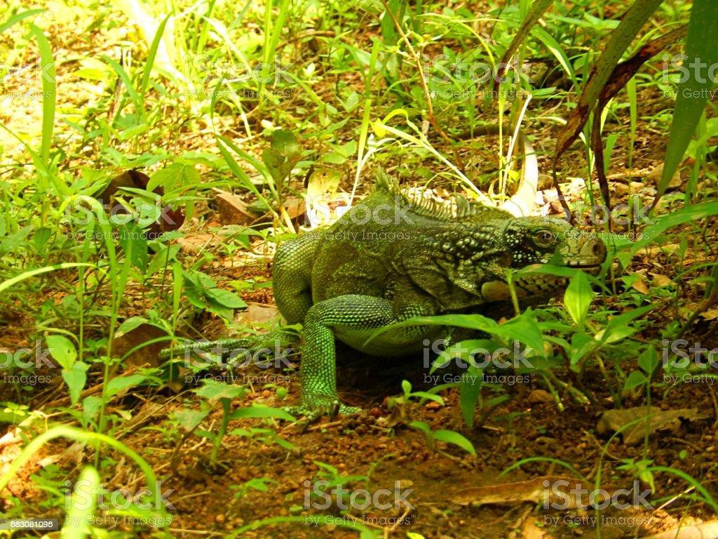 Exotic Iguana zbiór zdjęć royalty-free