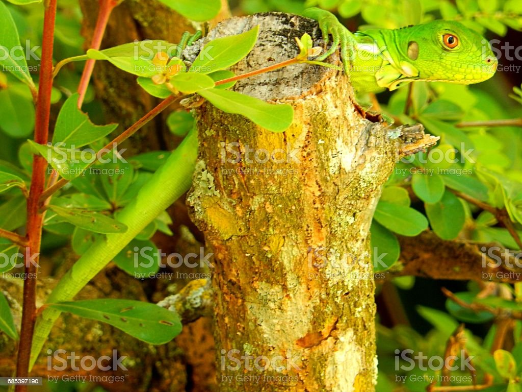 Exotic Iguana foto de stock royalty-free