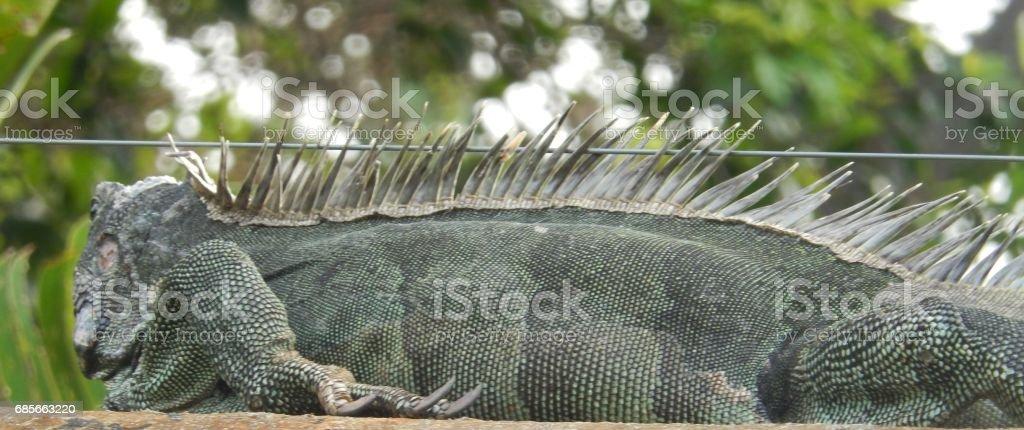 Exotic Iguana royalty-free 스톡 사진