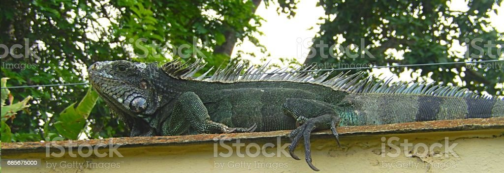 Exotic Iguana 免版稅 stock photo