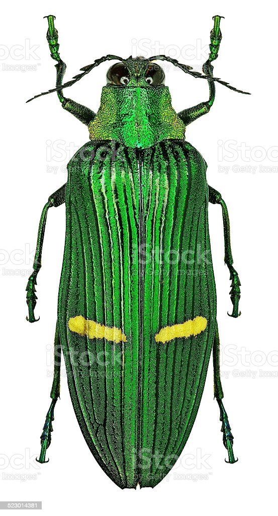 Exotic jewel beetle Catoxantha opulenta from tropical Asia stock photo
