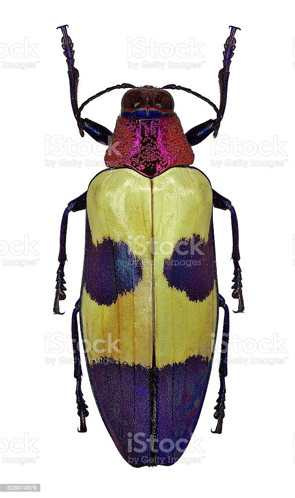 Exotic jewel beetle Chrysochroa buqueti from Thailand stock photo