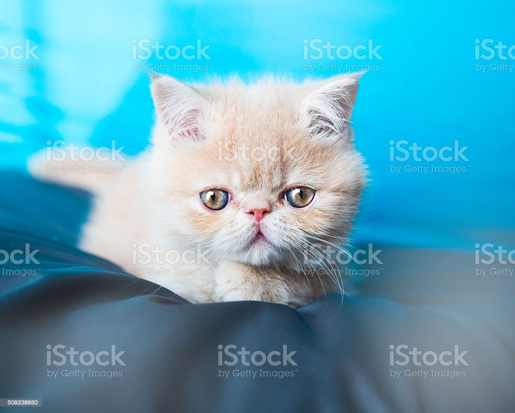 Exotic kitten stock photo