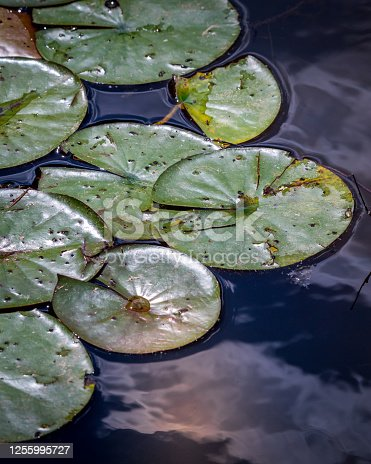 Exotic misc colored water lily through fazes of growth