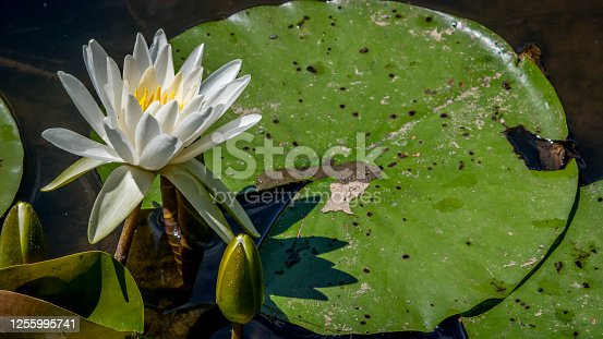 istock Exotic misc colored water lily through fazes of growth 1255995741