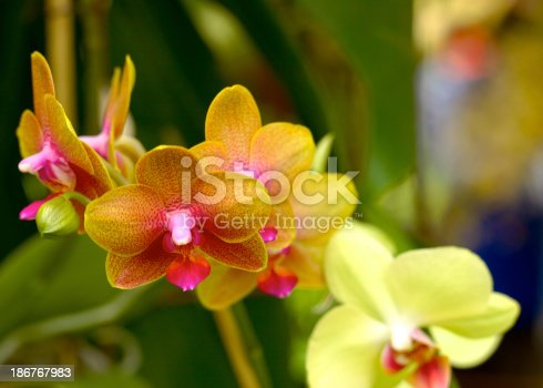 Colombia in South America is known for it's flowers.  Photo shows an exotic orchid.  Focus on the flower in the middle.  Shallow depth of field, blurs the green background.  goto shot in naturally daylight; horizontal format. Copy space.