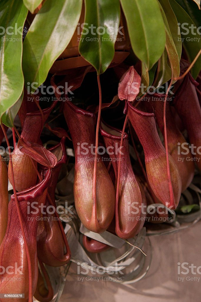 exotic Nepenthes stock photo