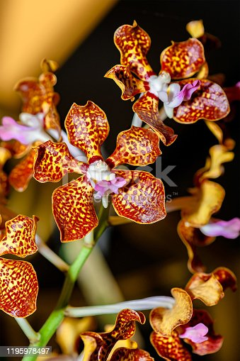 Colorful Exotic Orchid. Close-up of glossy golden yellow petals orchid covered with red spots, on blurry orange background.