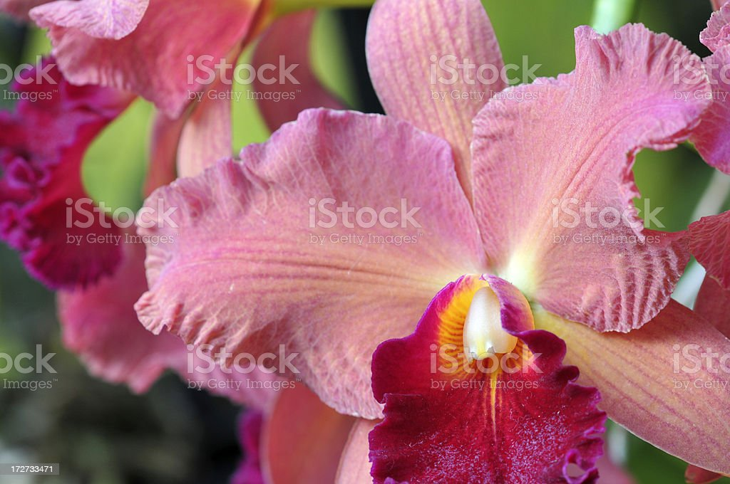 Exotic Orchid royalty-free stock photo
