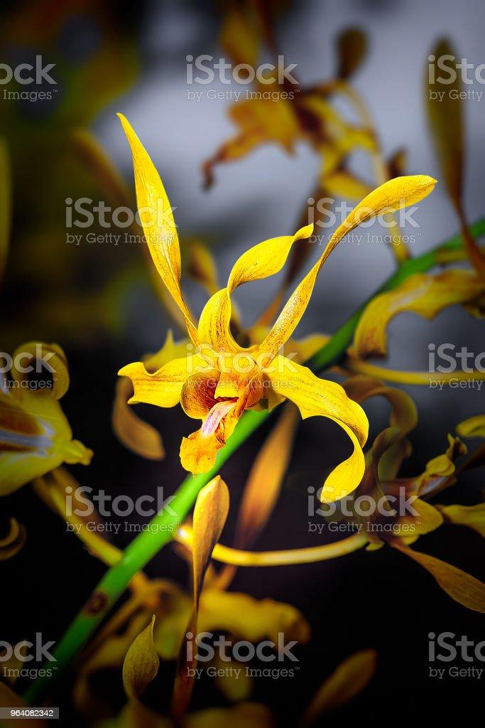 Exotic Orchid. - Royalty-free Bat - Animal Stock Photo