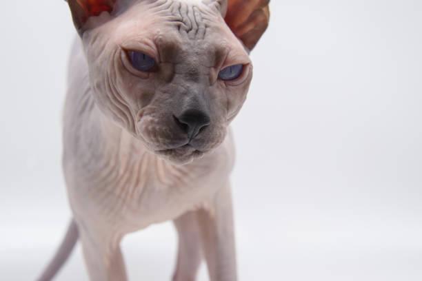 Exotic pet cat sphynx picture id1189756532?b=1&k=6&m=1189756532&s=612x612&w=0&h=uteyi2dbqv7h ypqam4zzqn0lpxn3hcshrjyrmr486u=
