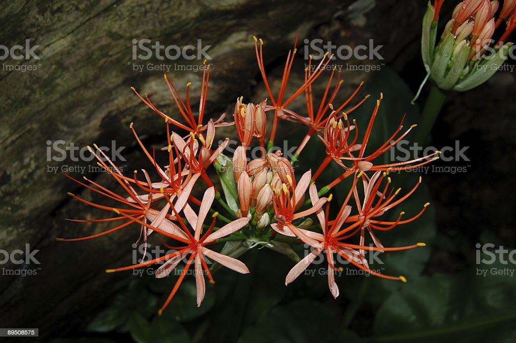Exotic red bloom royalty-free stock photo