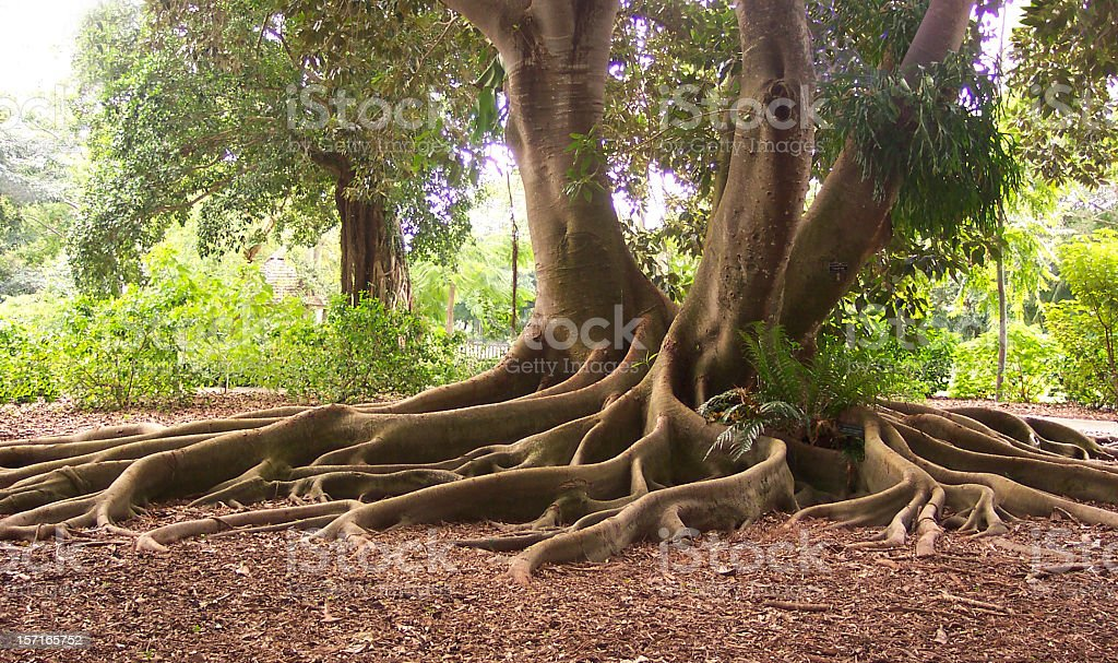 Exotic Roots of a Bay Fig Tree - Royalty-free Ancient Stock Photo