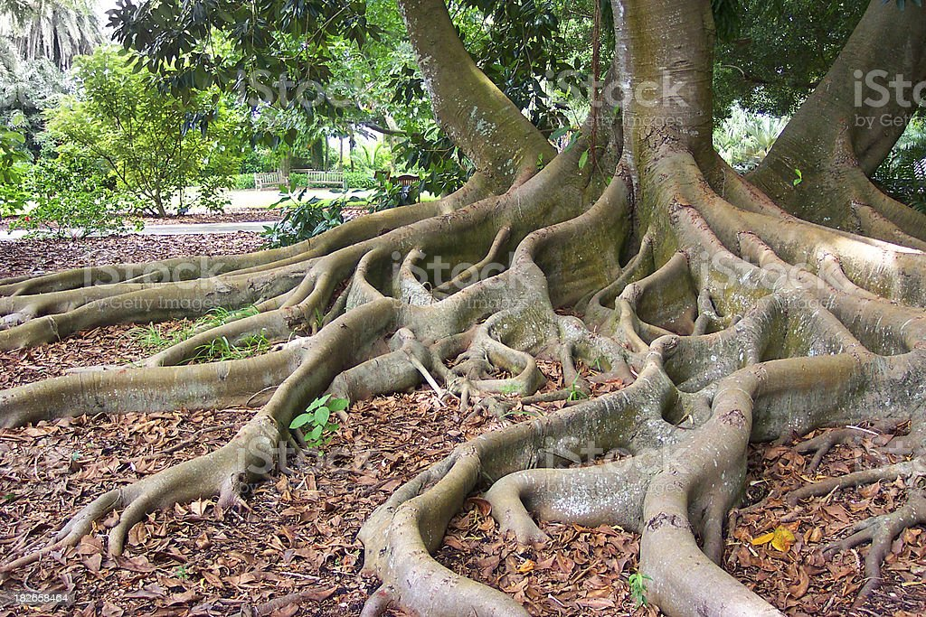 Exotic Roots of a Bay Fig Tree stock photo