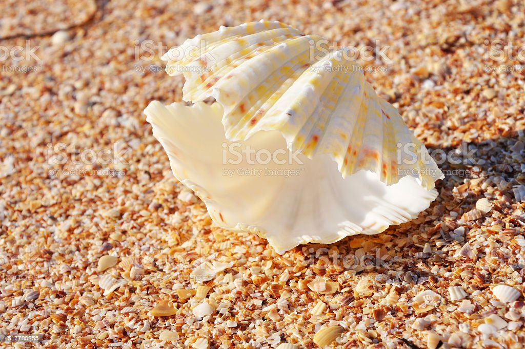 Exotic shell on the beach stock photo