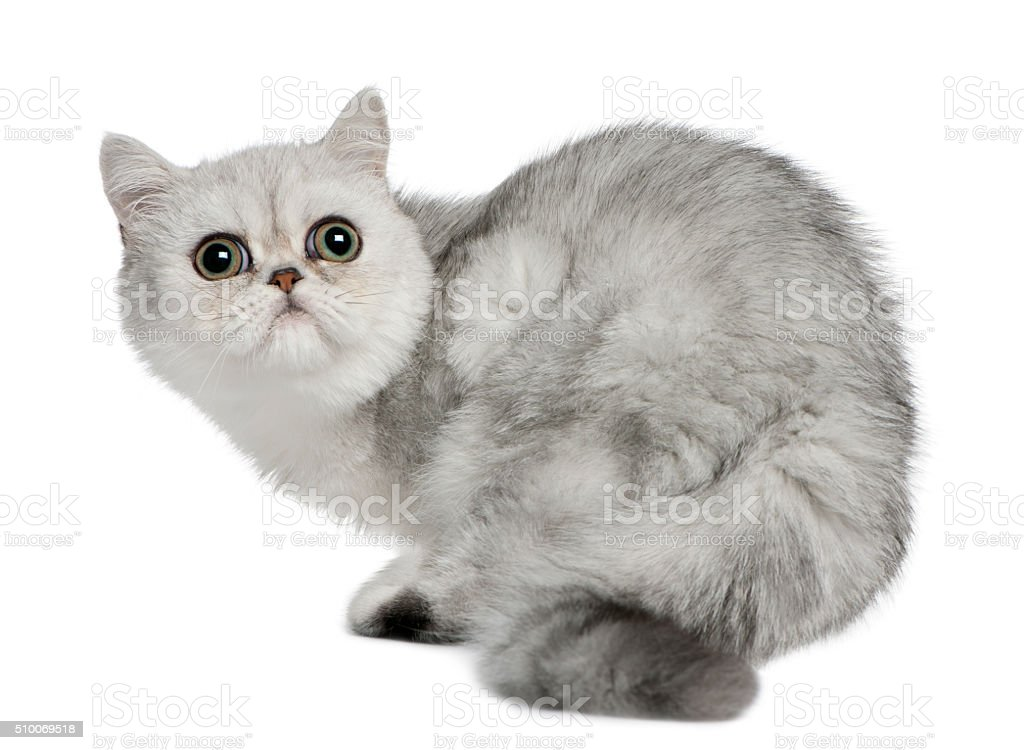 Exotic Shorthair cat, 5 months old, sitting and looking up stock photo