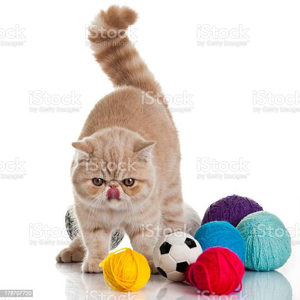 Exotic shorthair cat cat with balls of threads picture id178707720?b=1&k=6&m=178707720&s=612x612&h=lutpg6drahd9cbcaqsl9rdra yai5myqf5tqeqpbjeg=