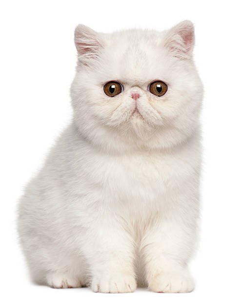 Exotic shorthair kitten 4 months old picture id450129135?b=1&k=6&m=450129135&s=612x612&w=0&h=62ysinrlavoqcj6qfo7lfujm mr0rqtc pj3yu1qoeg=