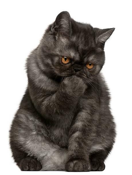 Exotic shorthair kitten 4 months old sitting white background picture id471289583?b=1&k=6&m=471289583&s=612x612&w=0&h= l 15cyxl7bw4hghpbimgdov1mn76p8unlklp9r4 qm=