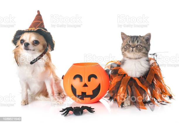 Exotic shorthair kitten and chihuahua picture id1039521540?b=1&k=6&m=1039521540&s=612x612&h=cs60twnmxreo6y5vcq5fyh9ardacfpsjhuolv14ssau=