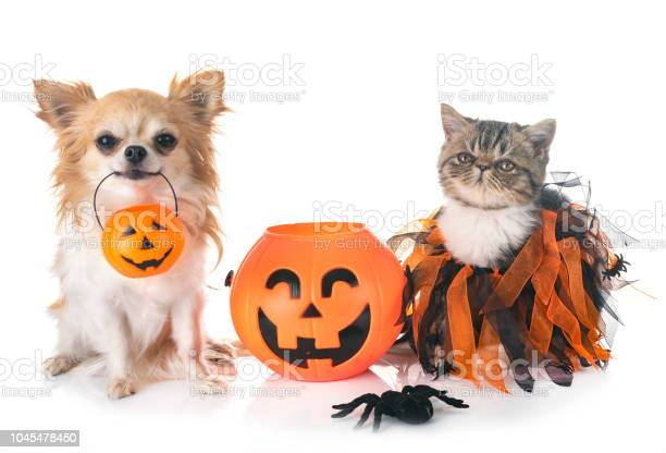 Exotic shorthair kitten and chihuahua picture id1045478450?b=1&k=6&m=1045478450&s=612x612&h=sq7vap30d2bf29xxiq8jy4zxulsdrkx1avcjxyrvbg4=