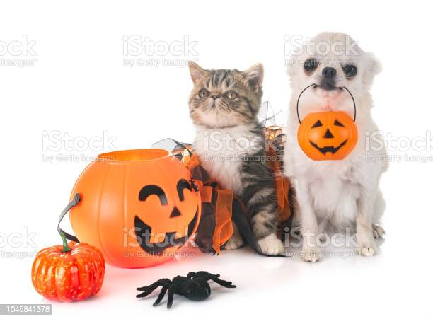Exotic shorthair kitten and chihuahua picture id1045841378?b=1&k=6&m=1045841378&s=612x612&h=wmjfnagxeiay14dkpg 9ykossnalplhaykzpj0x6xym=