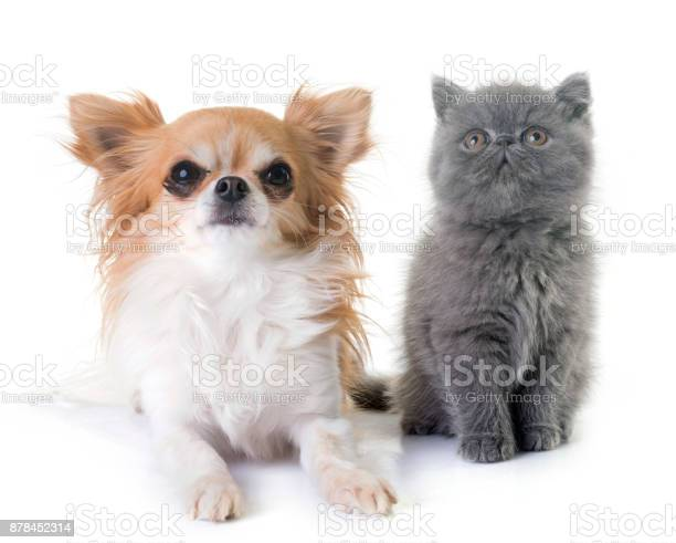 Exotic shorthair kitten and chihuahua picture id878452314?b=1&k=6&m=878452314&s=612x612&h=m8nrpjri0gtkyzj 6j87j8x1khgduu1fmeixukxs0hc=