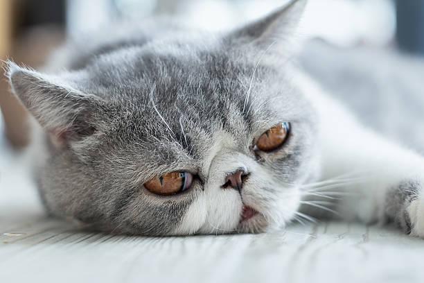 Exotic Shorthair stock photo