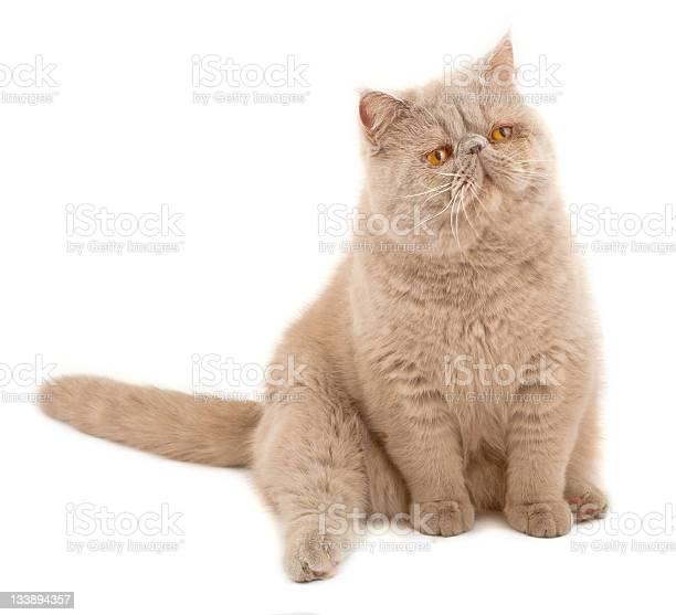 Exotic shorthaired cat picture id133894357?b=1&k=6&m=133894357&s=612x612&h=fc2iw6kst airibkdjqsv0l 13y20mead097v1kjygs=