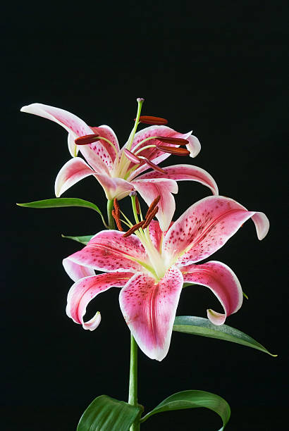 Exotic Stargazer  with copy space stock photo