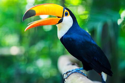 istock Exotic Toucan Bird in Natural Setting, Foz do Iguacu, Brazil 504784032