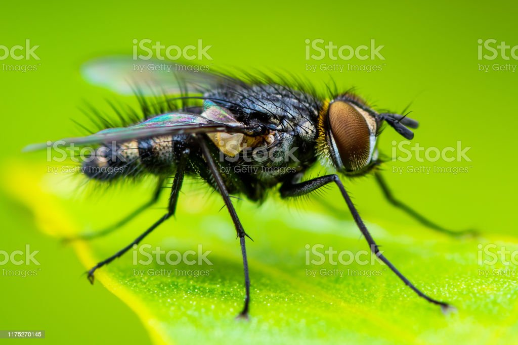 Diptera parazita)