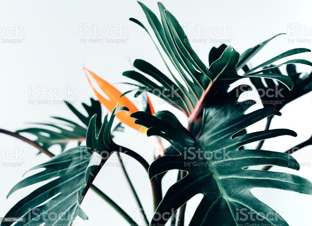Flor exótica tropical Estrelícia e xanadu folhas em branco background.nature conceitos - foto de acervo
